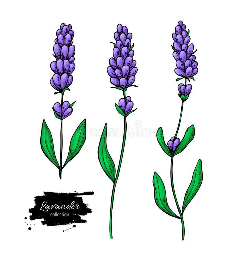 Ensemble de dessin de vecteur de lavande Fleur sauvage et feuilles d'isolement Illustration de fines herbes de style artistique illustration stock