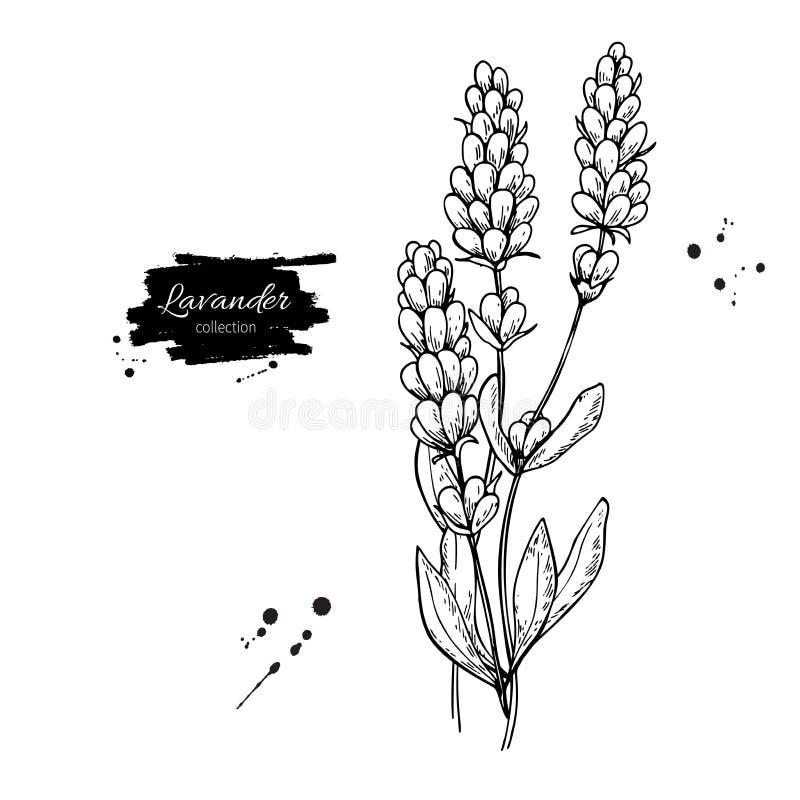 Ensemble de dessin de vecteur de lavande Fleur sauvage et feuilles d'isolement Illustration gravée de fines herbes de style illustration stock