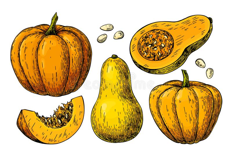 Ensemble de dessin de vecteur de courge de potiron et de butternut illustration stock