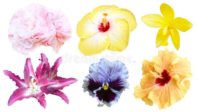 Ensemble de fleur colorée d'isolement, printemps de flore de pleine floraison photo libre de droits