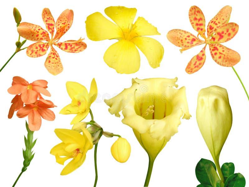 Ensemble de fleur colorée d'isolement, printemps de flore de pleine floraison (chalicevine voyant jaune) image libre de droits