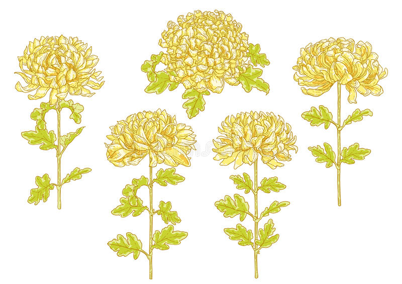 Ensemble de fleur de 5 chrysanthemums illustration de vecteur