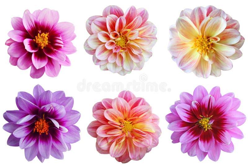 Ensemble de fleur de dahlia photos libres de droits