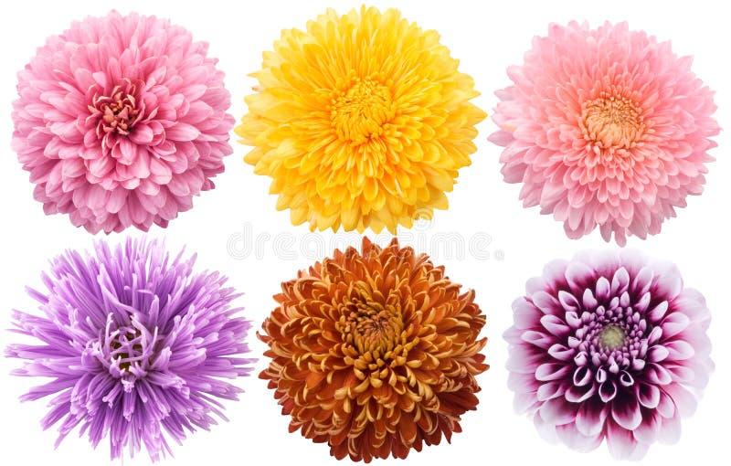 Ensemble de fleurs de dahlia dans la couleur différente photographie stock libre de droits
