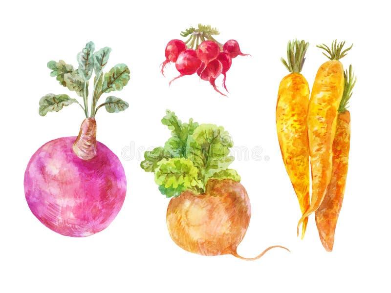 Ensemble de légumes souterrains Radis, carotte, navet illustration libre de droits