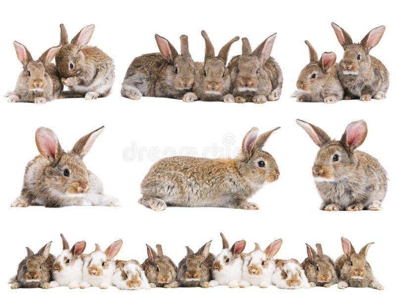 Ensemble de lapins bruns de chéri photos stock