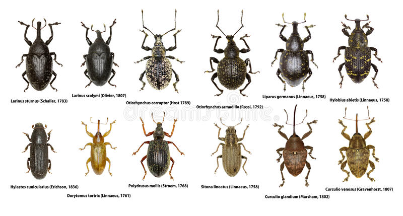 Ensemble de scarabées de charançon de l'Europe images stock
