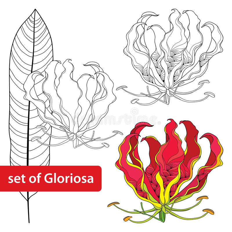 Ensemble de superba de Gloriosa ou lis de flamme, fleur tropicale et feuille d'isolement sur le fond blanc Usine toxique illustration stock