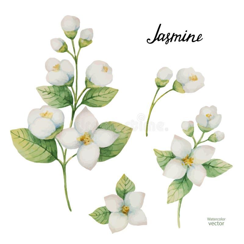Ensemble de vecteur d'aquarelle de fleurs et de jasmin de branches d'isolement sur un fond blanc illustration libre de droits