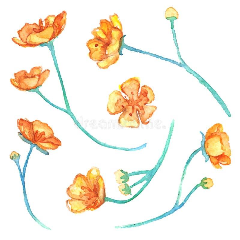 Ensemble de vecteur d'isolement par fleurs jaunes de renoncule d'aquarelle illustration de vecteur