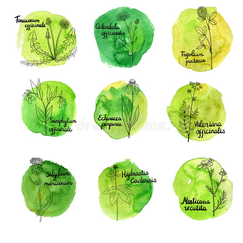 Ensemble de vecteur de plantes médicinales illustration stock