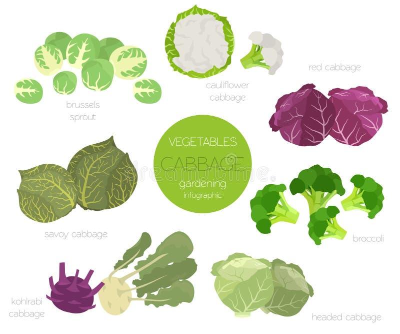 Ensemble graphique de caractéristiques salutaires de chou Jardinage, agriculture infographic, comment il se développe Conception  illustration de vecteur