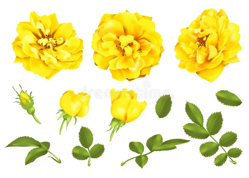 Ensemble réaliste de rose de jaune de vecteur roses 3d illustration libre de droits