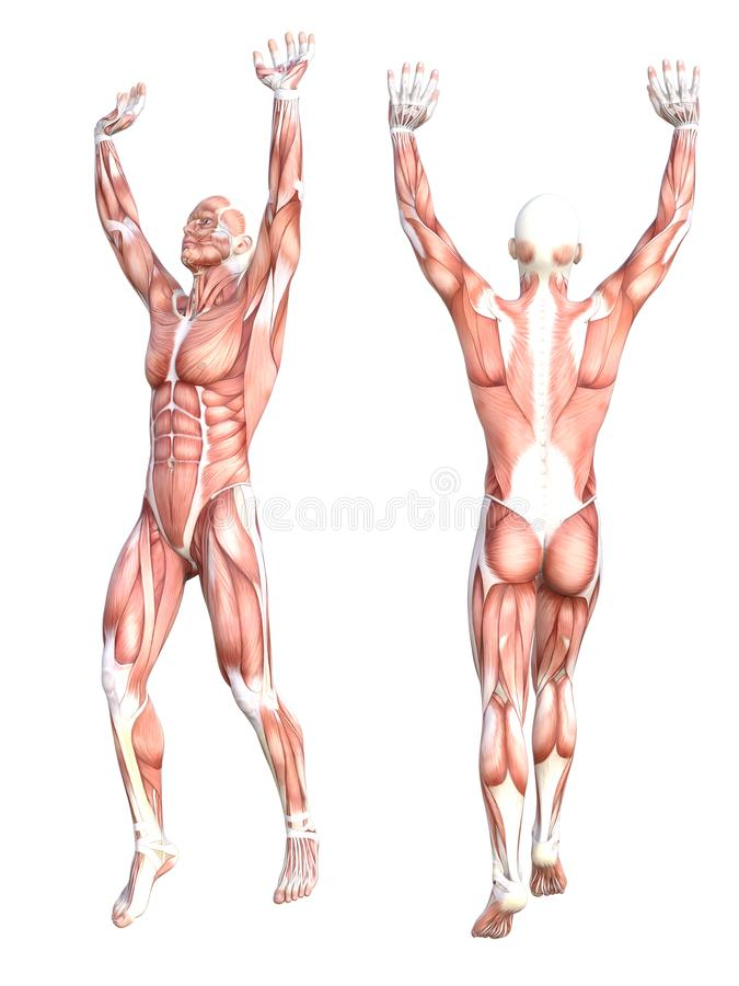 Ensemble sans peau sain d'appareil musculaire de corps humain d'anatomie conceptuelle Jeune homme adulte sportif posant pour l'éd illustration stock