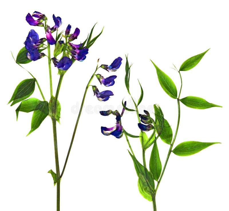 Ensemble sec de fleur de pois doux de fleurs bleues et de Cl vert frais de feuille photos stock