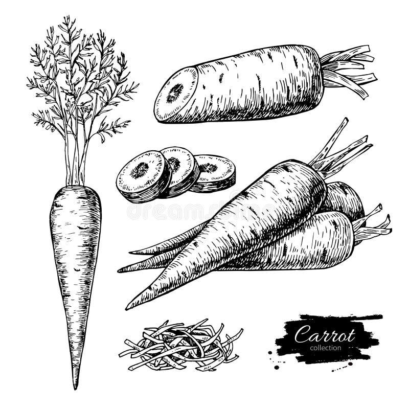 Ensemble tiré par la main d'illustration de vecteur de carotte Légume d'isolement illustration stock