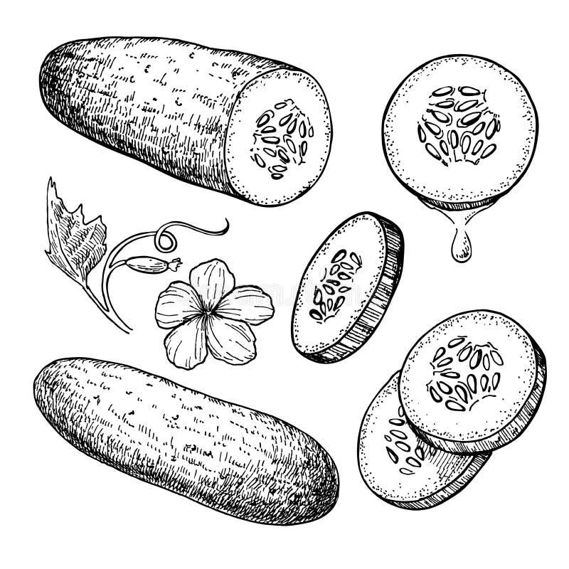 Ensemble tiré par la main de concombre Concombre d'isolement, morceaux découpés en tranches illustration de vecteur