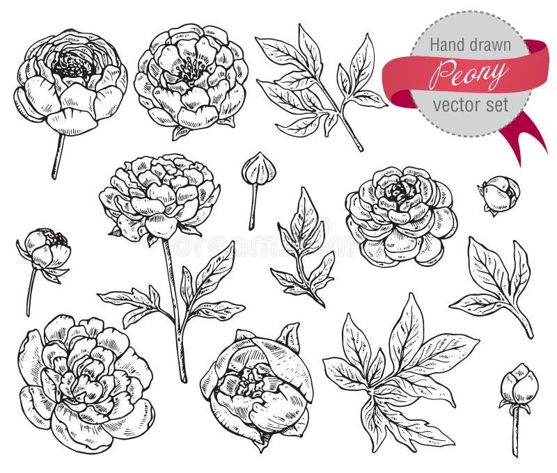 Ensemble tiré par la main de vecteur de fleurs de pivoine illustration libre de droits