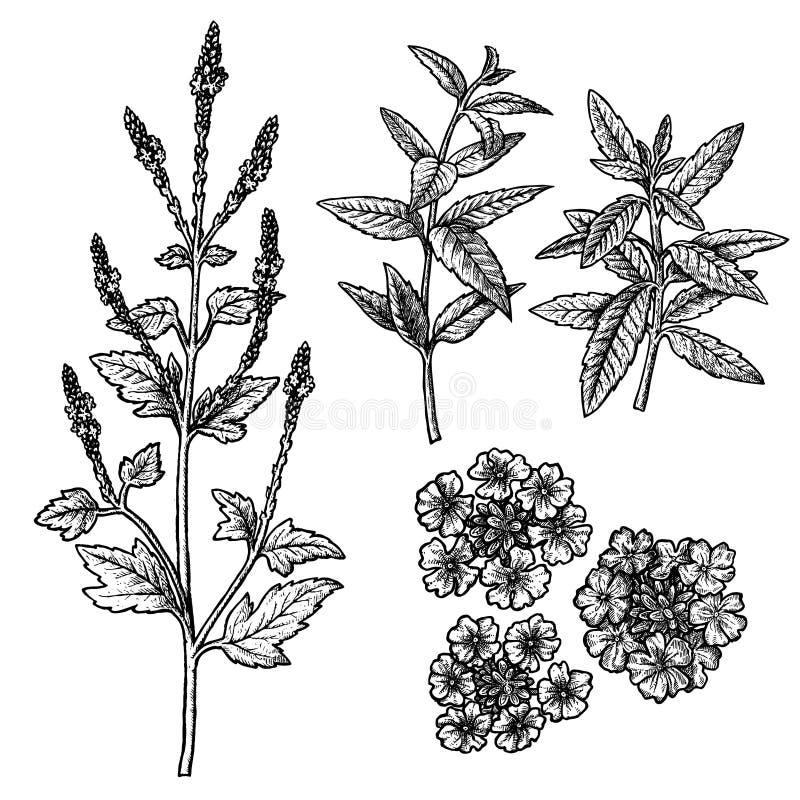 Ensemble tiré par la main de verveine, de fleurs, de feuilles et de brindilles Croquis de vecteur de cru illustration libre de droits