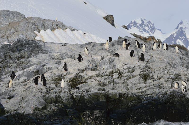 Ensenada de Cierva de los pingüinos de Chinstrap, la Antártida imagen de archivo libre de regalías