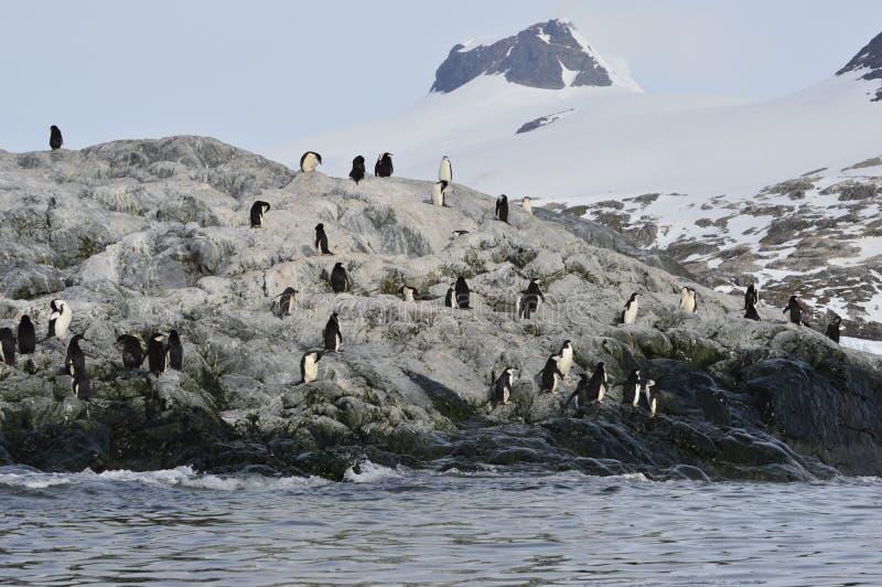 Ensenada de Cierva de los pingüinos de Chinstrap, la Antártida imagen de archivo