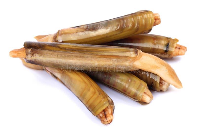 Ensis siliqua o cannolicchio fotografia stock