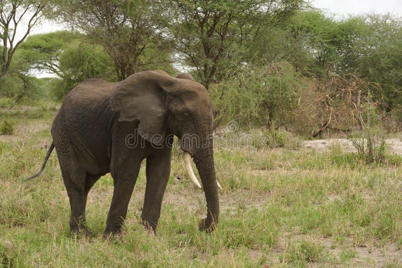 Enslig afrikansk elefant i Tarangire royaltyfria foton