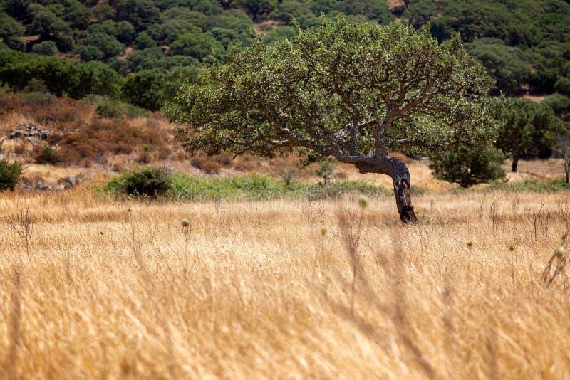 Enslig krokig olivträd med buskar i bakgrund arkivfoto