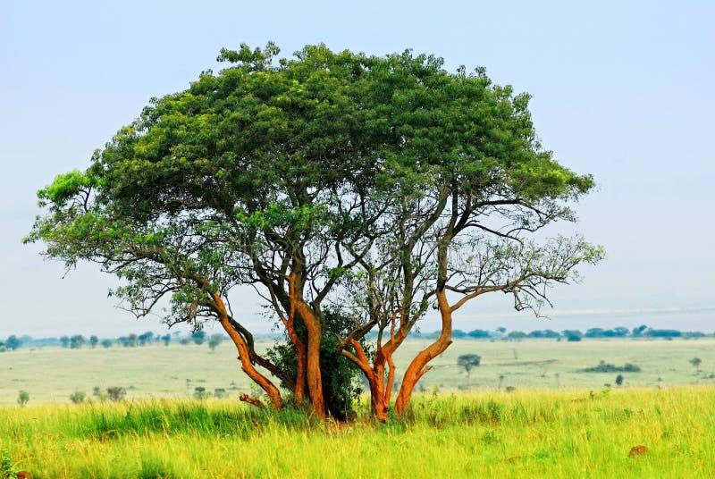 enslig tree royaltyfria foton