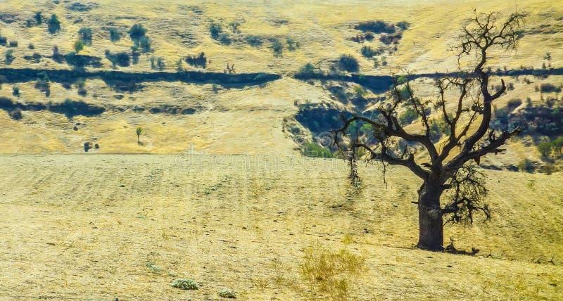 Ensligt träd i förtorkat sommarlandskap