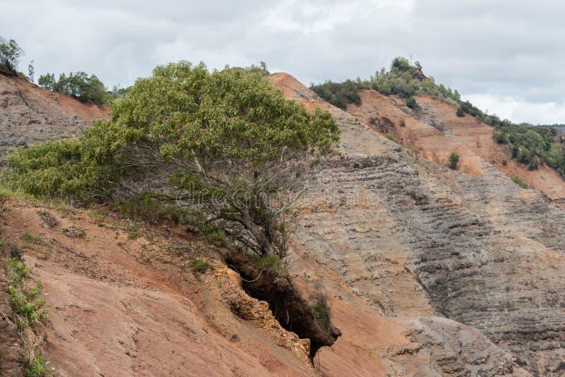 Ensligt träd på kanten av den Waimea kanjonen på Kauai, Hawaii, i vinter arkivfoton