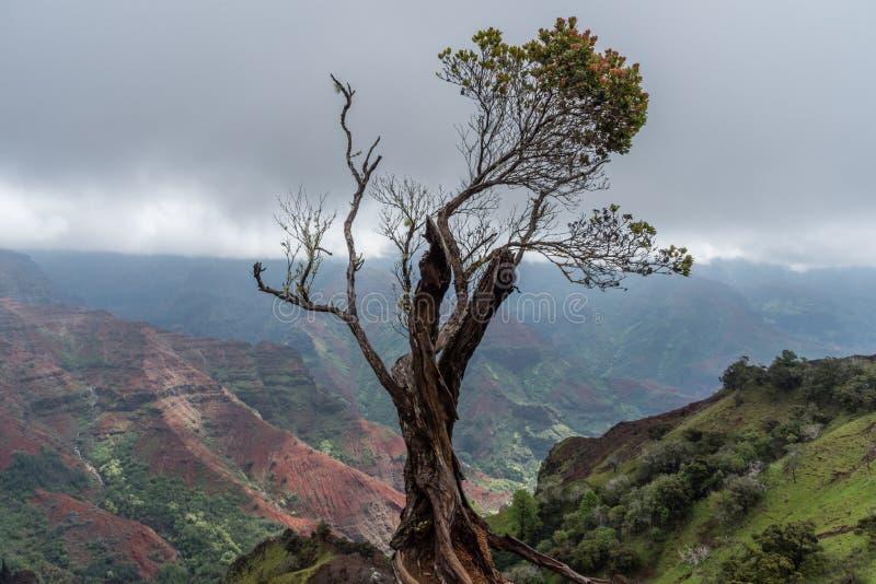 Ensligt träd på kanten av den Waimea kanjonen på Kauai, Hawaii, i vinter arkivfoto