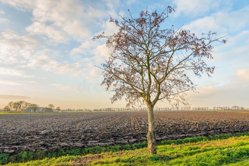 Ensligt träd på kanten av ett plöjt fält arkivfoton