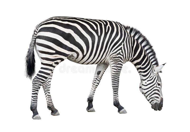 Entalhe Da Zebra Fotos de Stock