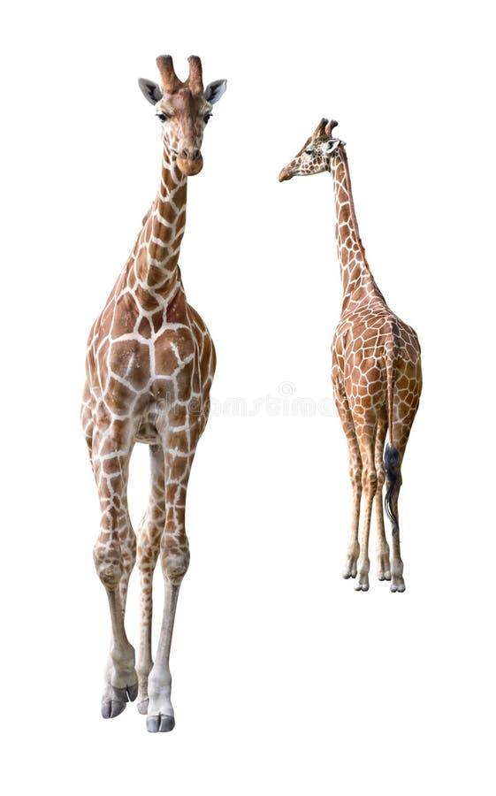 Entalhe novo dos pares do Giraffe somaliano fotos de stock royalty free