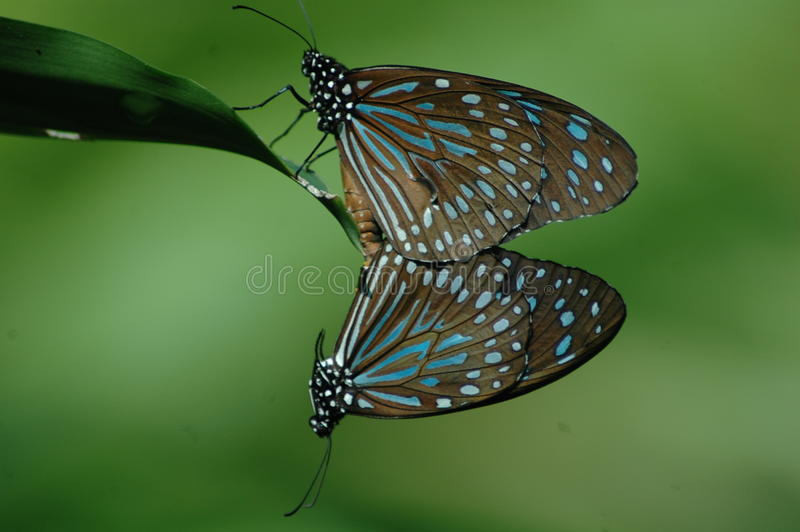 The entangled butterflies stock photos