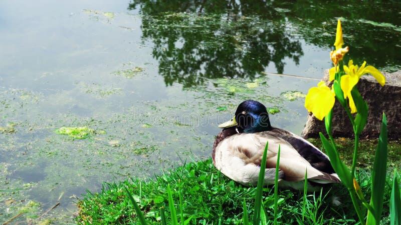 Ente auf dem Gras stockbilder