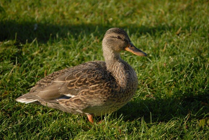 Ente auf dem Gras lizenzfreie stockfotos