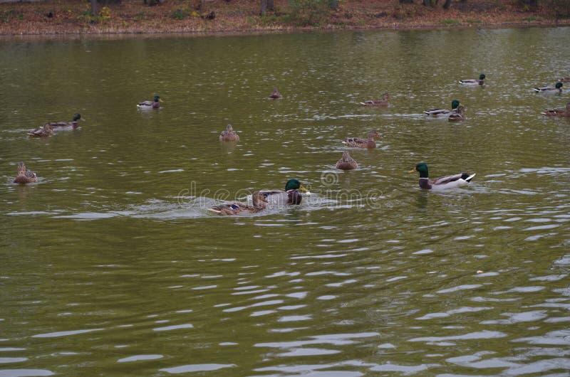 Ente auf dem Teich stockbilder