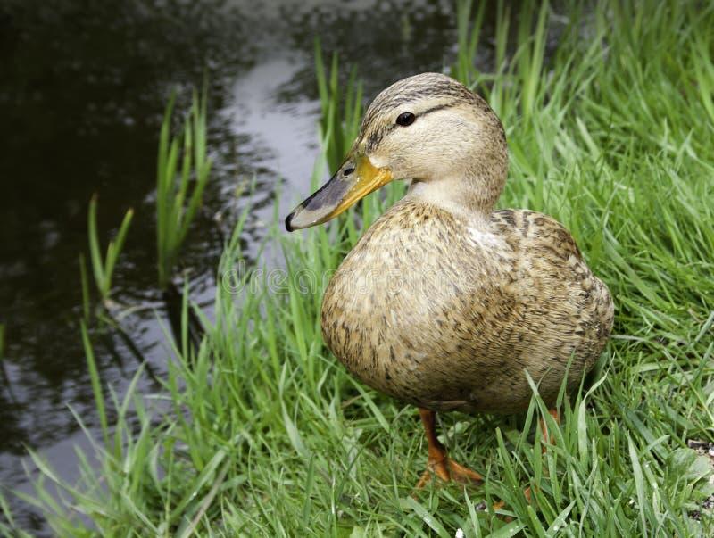 Ente auf der Bank von Teich lizenzfreies stockbild