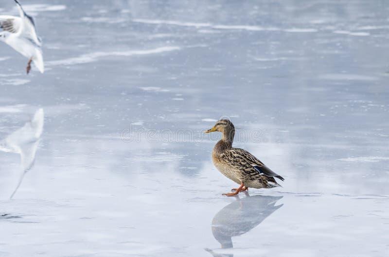 Ente auf Eis stockfotografie