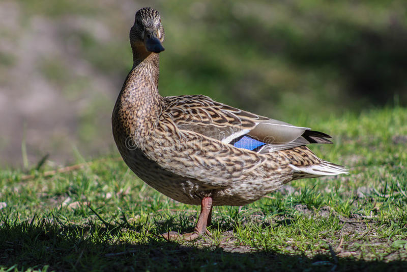 Ente auf Gras stockfoto