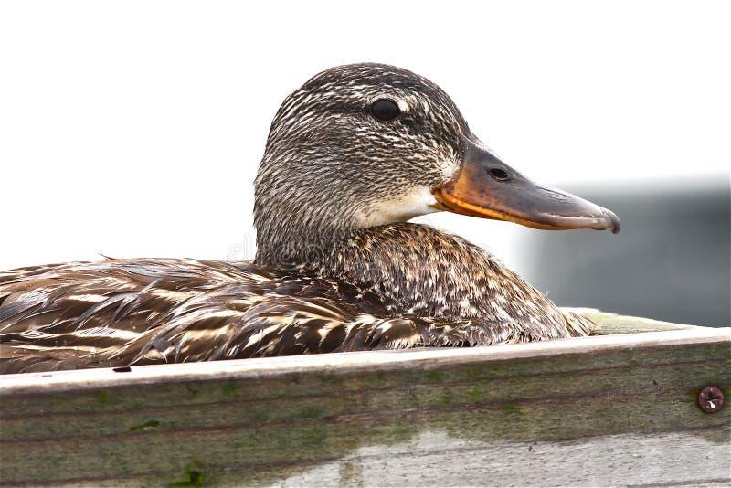 Ente auf ihrem Nest lizenzfreie stockfotografie