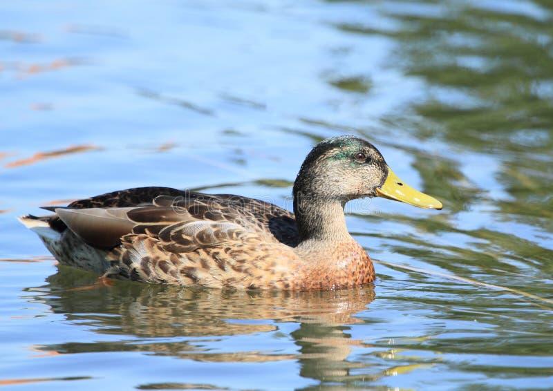 Ente auf Wasser lizenzfreie stockfotografie