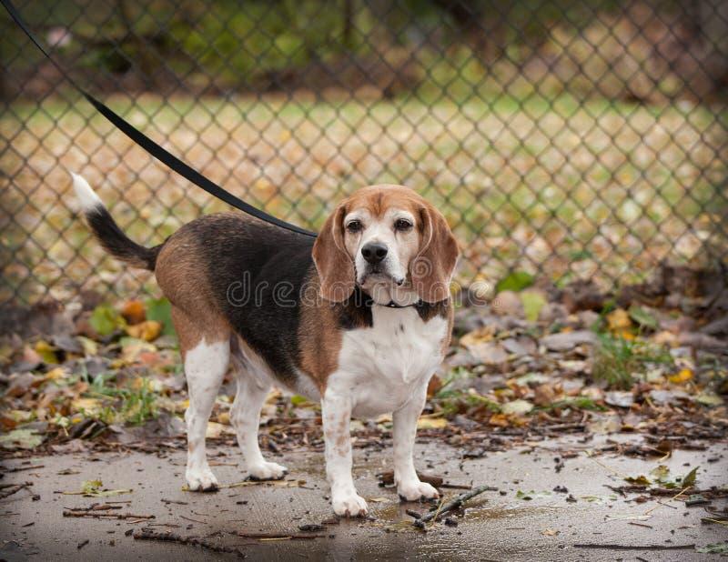 Ente completo del cane senior grassottello del cane da lepre su un guinzaglio che guarda verso fotografia stock libera da diritti