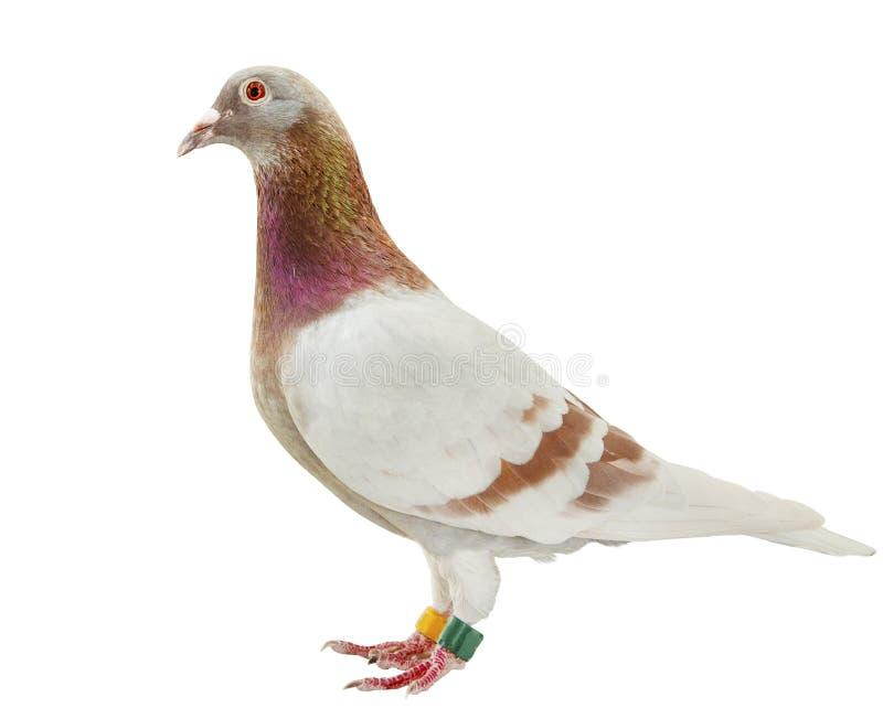 Ente completo della piuma farinosa rossa del piccione viaggiatore di velocità isolare fondo bianco immagine stock libera da diritti