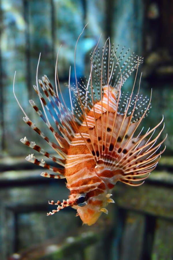 Ente completo di Firefish del diavolo immagine stock libera da diritti