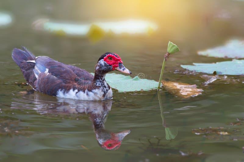 Ente des roten Gesichtes und Lotosblume stockfotos