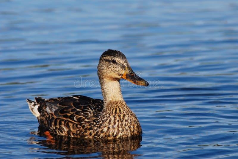 Ente, die auf den See schwimmt stockfotos