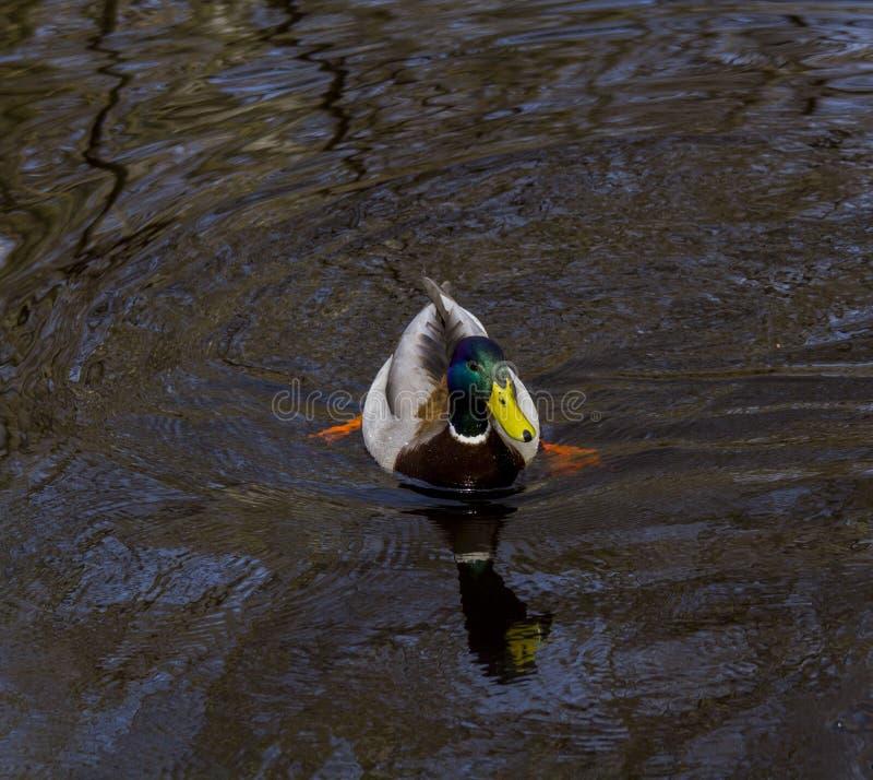 Ente, die in einen Fluss schwimmt stockbild